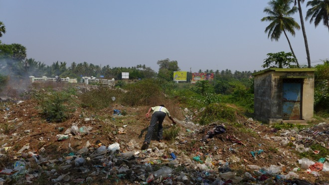 Collecting the wild aubergine and one of its (distant) relative, Solanum torvum in Indian garbage areas! This happened in Coimbatore surroundings, in South India, 2015 (credit: X. Aubriot)